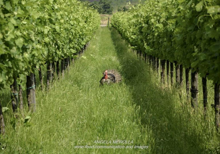 Allevare viti e trasformare i grappoli in vino